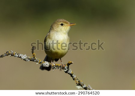 Bonelli's Warbler,( Phylloscopus bonelli ) , sunbathing on a branch - stock photo