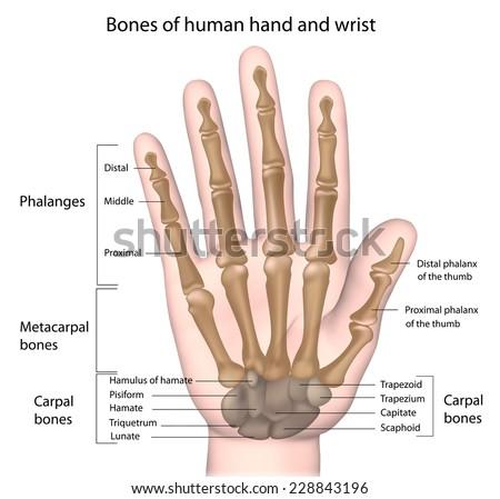 Bones Hand Labeled Stock Illustration 228843196 Shutterstock