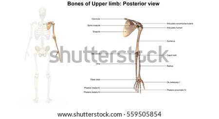 clavicle collar bone scapula shoulder blade stock vector