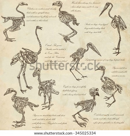 Bones, Skulls of different Birds - Collection of an hand drawn illustrations. Full sized hand drawn illustrations, Originals, freehand sketching, drawing on paper background. - stock photo