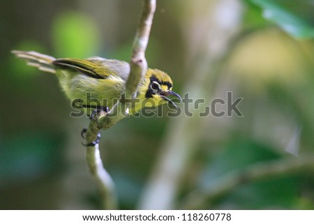 Bonin Honeyeater or Bonin White-eye (Apalopteron familiare) in Japan