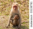 Bonnet Macaque Mother with Baby in Bandipur National Park, India. - stock photo