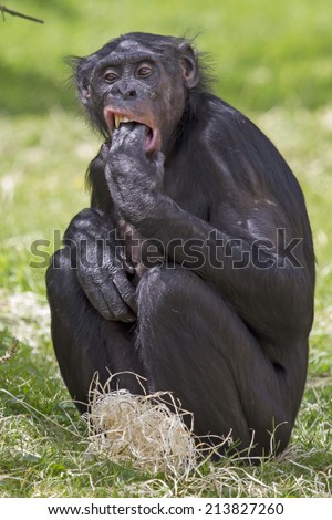 Bonobo - stock photo