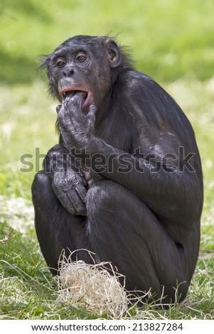 Bonobo - stock photo