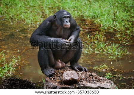 Bonobo are sitting on the ground. Democratic Republic of Congo. Lola Ya BONOBO   National Park. An excellent illustration.