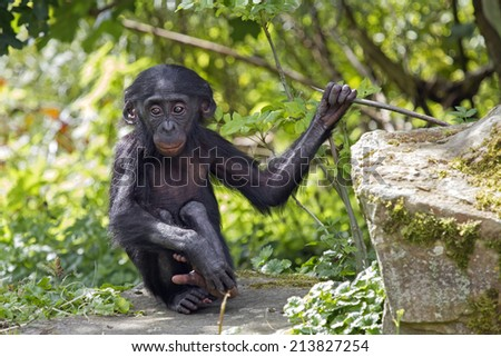 Bonobo baby - stock photo