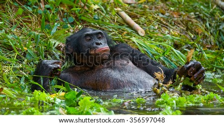 Bonobo lying in the water. Democratic Republic of Congo. Lola Ya BONOBO National Park. An excellent illustration.