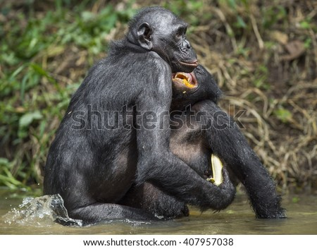 Bonobo mating in the pond. The Bonobo ( Pan paniscus), formerly called the pygmy chimpanzee and less often, the dwarf or gracile chimpanzee. Democratic Republic of Congo. Africa - stock photo