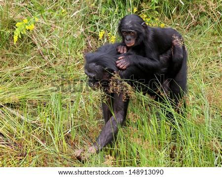 Bonobo mother and child - stock photo