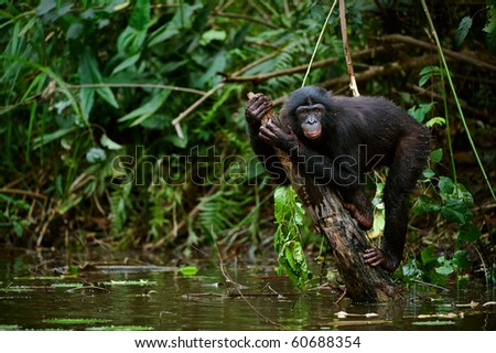 Bonobo on a branch which is sticking out of water. The chimpanzee - Bonobo has climbed on a branch in the middle of a pond and sits on her in an amusing pose. - stock photo