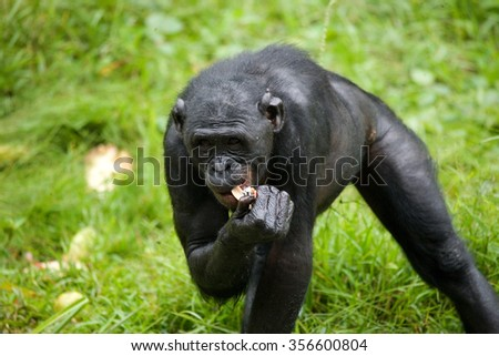 Bonobo on the grass. Democratic Republic of Congo. Lola Ya BONOBO National Park. An excellent illustration.