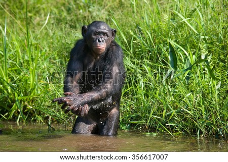 Bonobo playing with water. Democratic Republic of Congo. Lola Ya BONOBO National Park. An excellent illustration.