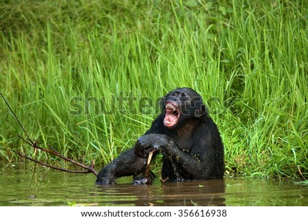 Bonobo sitting in water in a good mood. Democratic Republic of Congo. Lola Ya BONOBO  National Park. An excellent illustration.