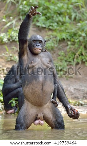 Bonobo standing on her legs with a cub on a back and hand up. The Bonobo ( Pan paniscus). Democratic Republic of Congo. Africa  - stock photo