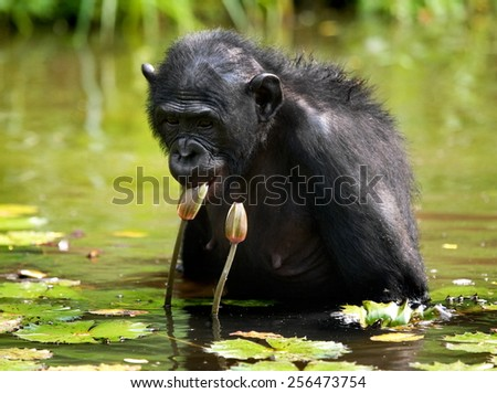 Bonobos and lily in the pond. Democratic Republic of the Congo. - stock photo