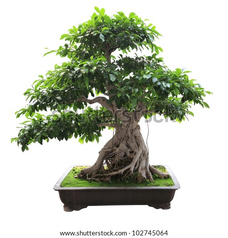 bonsai banyan tree with white background - stock photo
