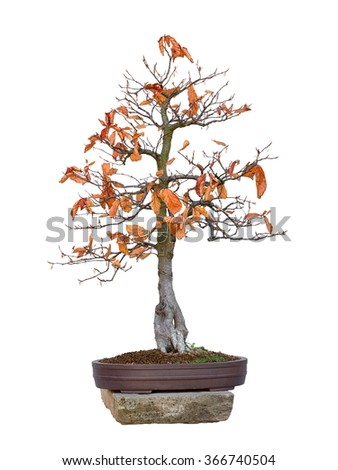 Bonsai - beech red tree with white background (Fagus silvatica Atropurpurea) - stock photo