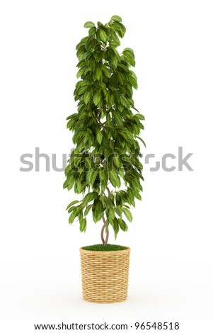 bonsai big leaf plant in wooden pot Isolated over white - stock photo