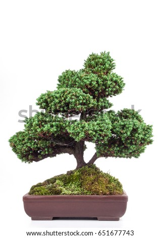 bonsai Chamaecyparis pisifera'Squarrosa dumosa' on a white background