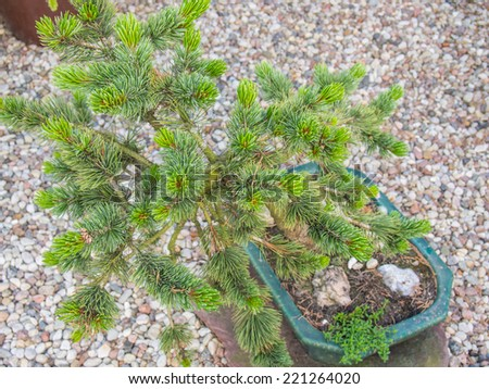 Bonsai cultivation and care requires techniques and tools that are specialized to support the growth and long-term maintenance of trees in small containers. - stock photo