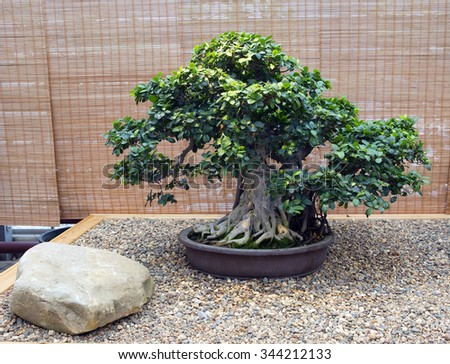 Bonsai. Ficus . Age - about 60 years.  In the Eastern tradition, trees bonsai are classic elements of interior and landscape design.