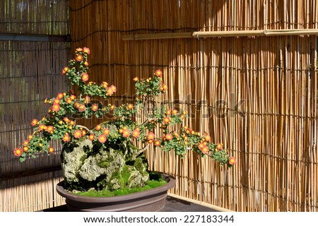 bonsai flower in pot at a japanese garden - stock photo