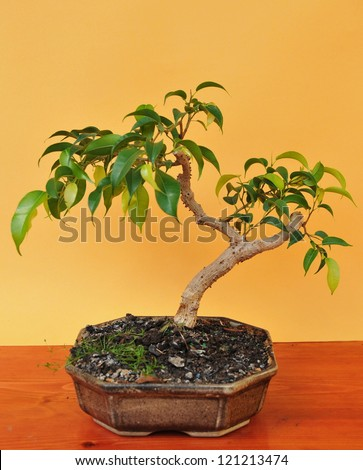 bonsai fuchsia in pot - stock photo