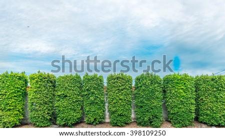 bonsai green on  sky - stock photo