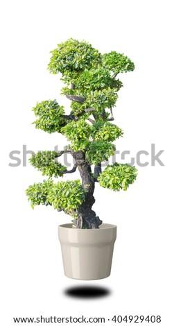 bonsai green on White background - stock photo