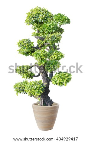 bonsai green on White background