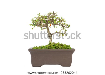 Bonsai of Carmona retusa  on white