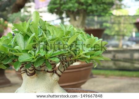 bonsai of impala lily tree. - stock photo