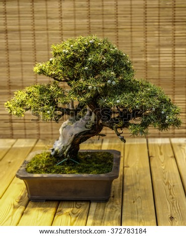 Bonsai on the wooden background