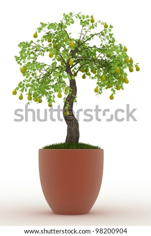bonsai pear tree in in pot Isolated over white