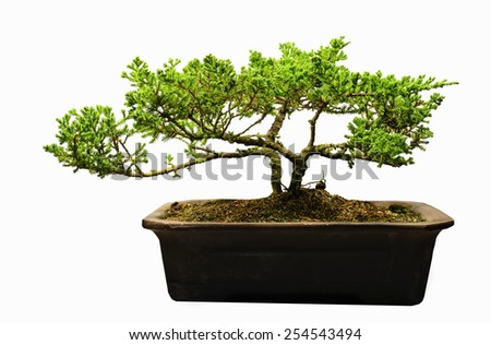 Bonsai Pemphis Acidula  in pots isolated on white.  - stock photo