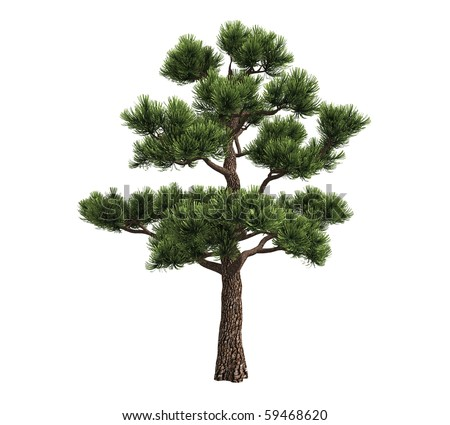 Bonsai pine isolated on white background