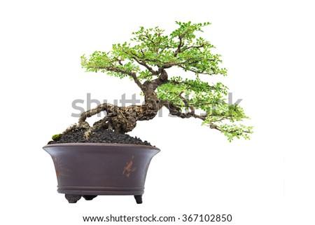 Bonsai pine tree against a white  background - stock photo