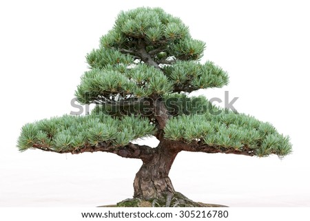 Bonsai pine tree on a white background - stock photo