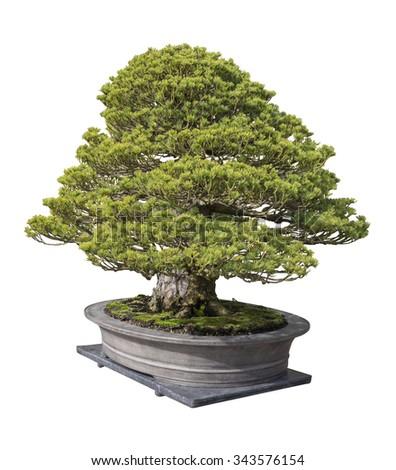 Bonsai pine tree on white background - stock photo