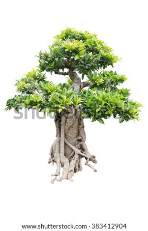 Bonsai pine tree with root against a white wall