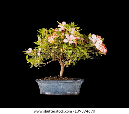 Bonsai Pink Rhododendron Azalea Tree closeup with a lot of incredible detail from stacked photos. Isolated. - stock photo