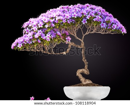 Bonsai potted tree,side view,with a black gradient background. Part of a Bonsai series. - stock photo