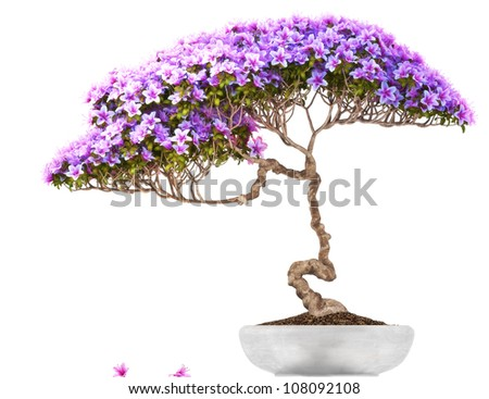 Bonsai potted tree ,side view,with a white background,part of a bonsai series. - stock photo