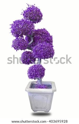bonsai Purple on wite  - stock photo