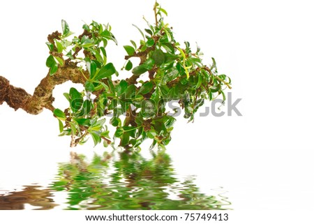 bonsai tree and its reflection in water