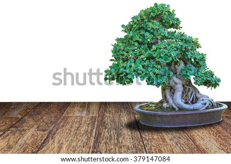 bonsai tree in a ceramic pot on a wooden floor and isolated on white background. - stock photo