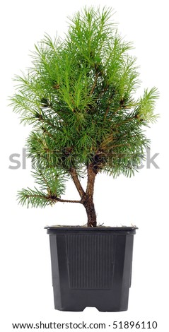 Bonsai Tree in a plastic pot on a white background - stock photo