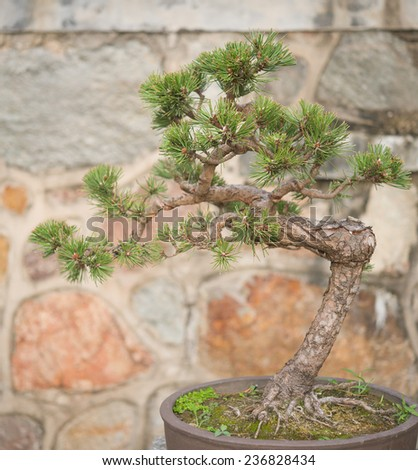 bonsai tree in flower pot - stock photo