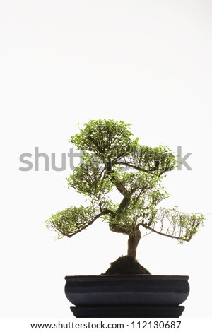 Bonsai tree in front of white background