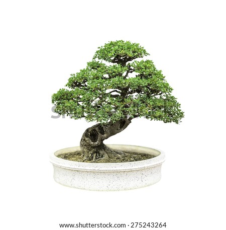 Bonsai tree in pot isolated on white background - stock photo